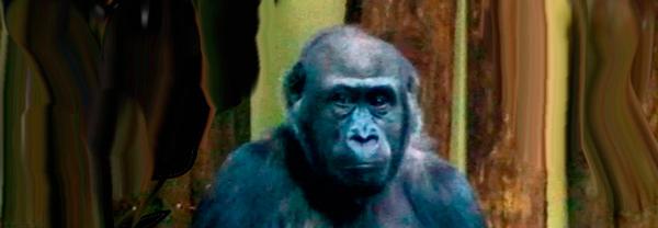 gorila-copia