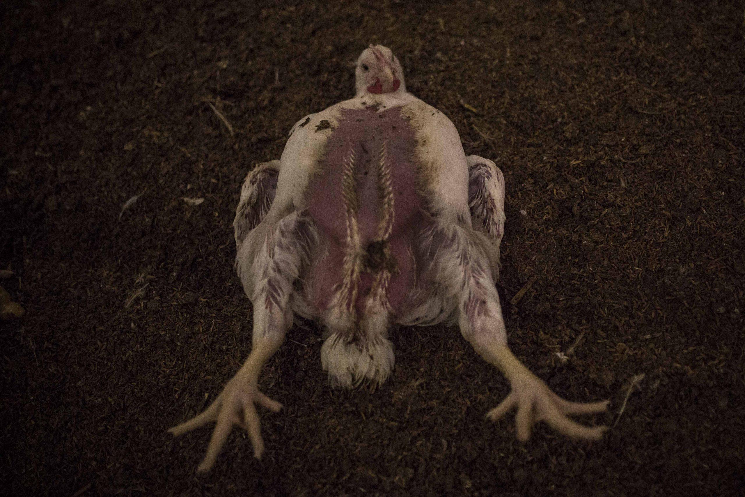 Imagen de un pollo enfermo y agonizante en la granja avícola donde se realizó la investigación de Igualdad Animal y Público. JAIRO VARGAS