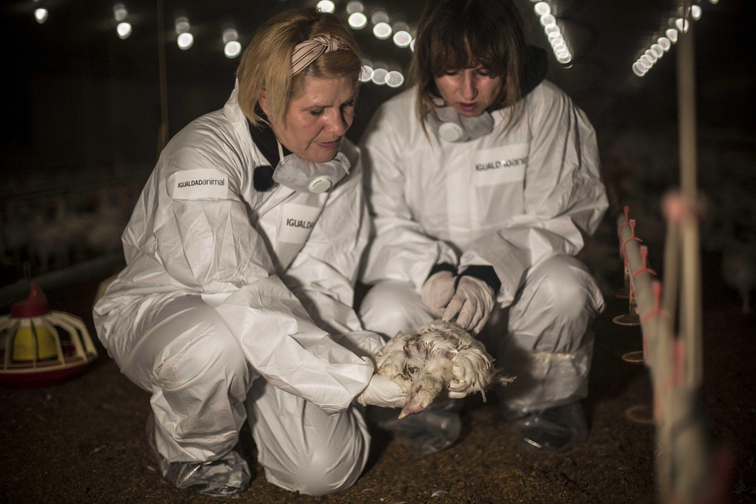 Silvia Barquero (i), presidenta de Igualdad Animal, y Ana Pardo de Vera, con uno de los cadáveres de pollos encontrados en la granja avícola investigada. JAIRO VARGAS