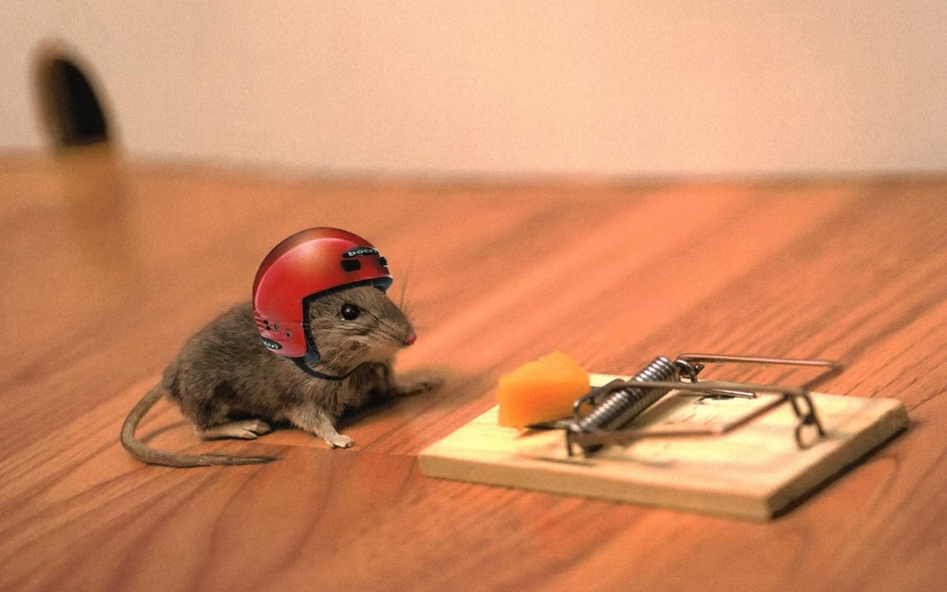Trampa para ratones y encuestas con queso – Comiendo Tierra