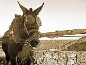 20140421133324-burro-con-orejeras