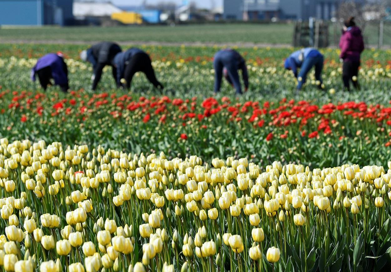 Trabajadores en una plantación de amapolas en la localidad holandesa de Lisse. REUTERS/Piroschka van de Wouw