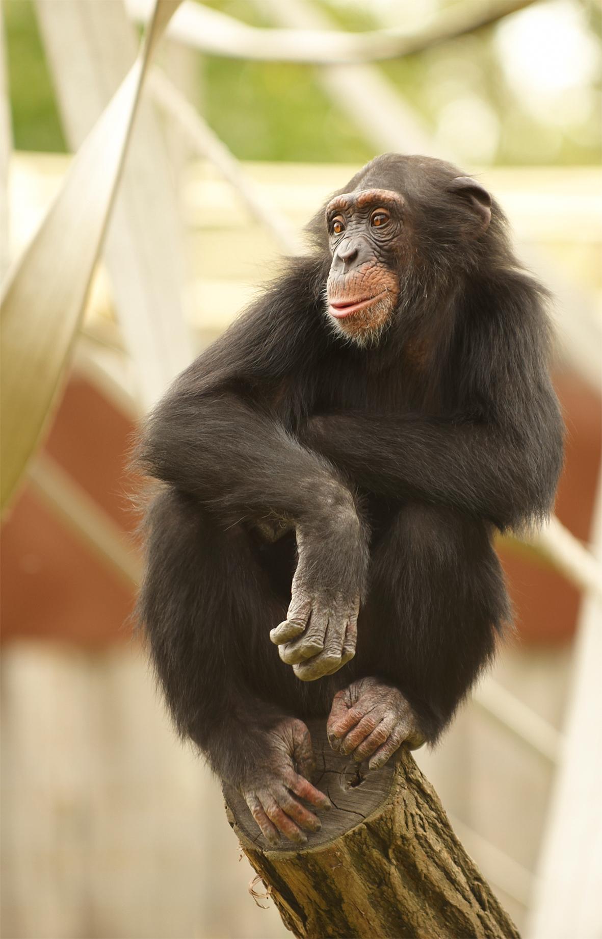 PososAnarquia_Chimpance_1
