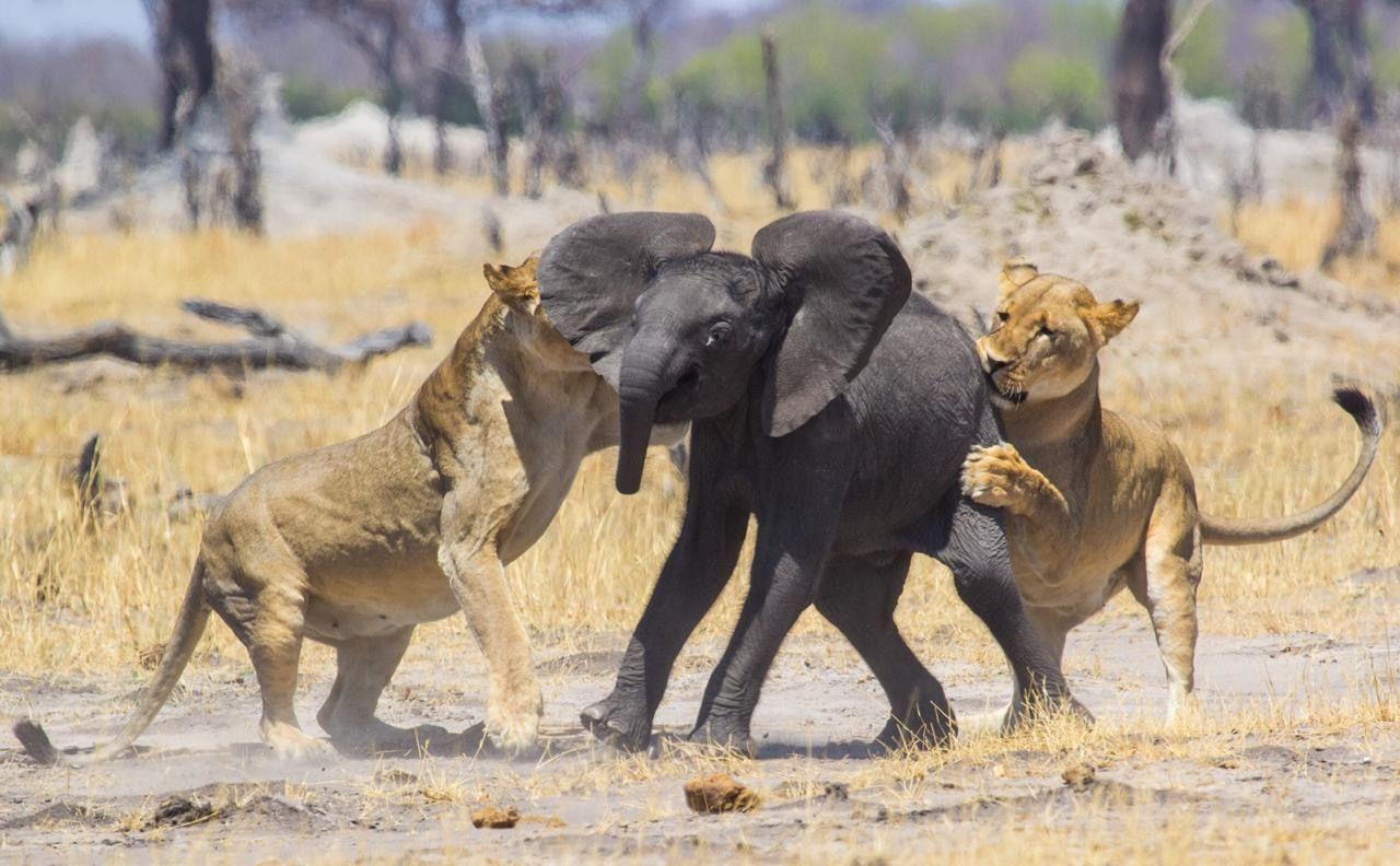 Crudeza natural: leonas cebándose con crías de elefante