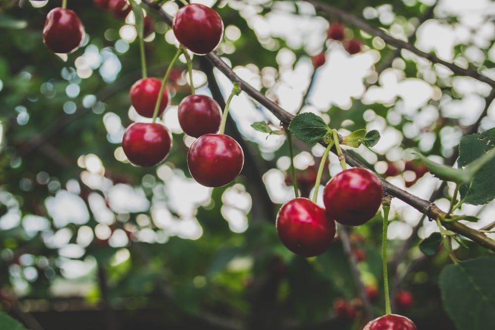 El fruto rojo destaca sobre las hojas verdes. Macu ic / Unsplash