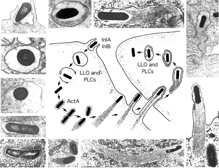 Etapas de la vida intracelular de Listeria monocytogenes. La figura del centro se basa en las micrografías electrónicas de alrededor. Daniel A. Portnoy, Victoria Auerbuch, and Ian J. Glomski - Portnoy, D.A, et al. 2002, CC BY