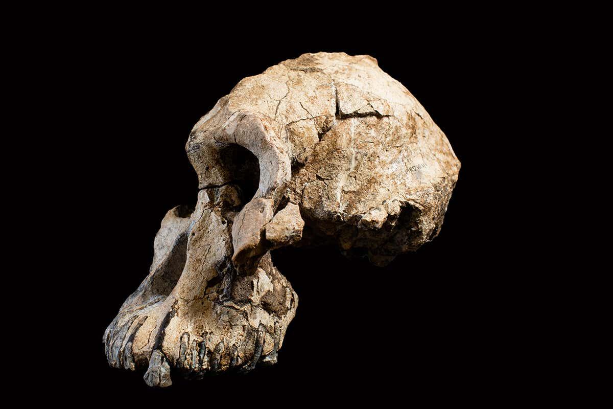 Cráneo de MRD. Dale Omori, cortesía del Museo de Historia Natural de Cleveland.