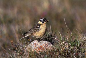 La prodigiosa vida sexual del ave que practica el amor libre