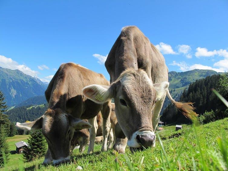 Vacas pastando. Pixabay