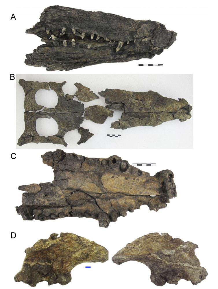 Fósiles de cráneos de Hulkepholis plotos encontrados en Ariño (Teruel). Arribas et al., 2019/PeerJ