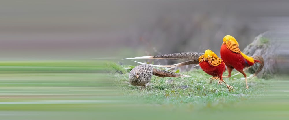 Dos faisanes dorados macho(derecha) exhiben su plumaje ante una hembra (izquierda). Shutterstock / Wang LiQiang
