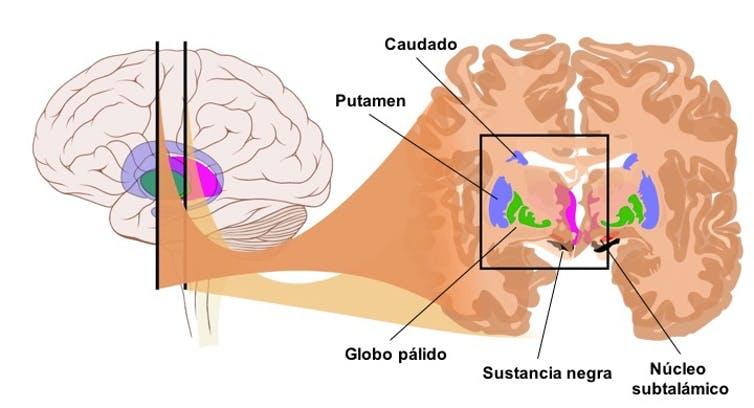 Los núcleos basales cuentan con toda la información que necesitan para controlar los progresos de alguien que está aprendiendo a conducir. De esta forma, el núcleo caudado y el putamen reciben información sensorial de todas las regiones de la corteza cerebral. También recibe información procedente de los lóbulos frontales respecto a los movimientos que se han planificado o están en curso. Las eferencias del núcleo caudado y el putamen se envían al globo pálido y desde aquí se transmiten a las áreas premotora y motora suplementaria, donde se planifican los movimientos, y a la corteza motora primaria, desde donde se ejecutan. Imagen modificada de Patrick J. Lynch.