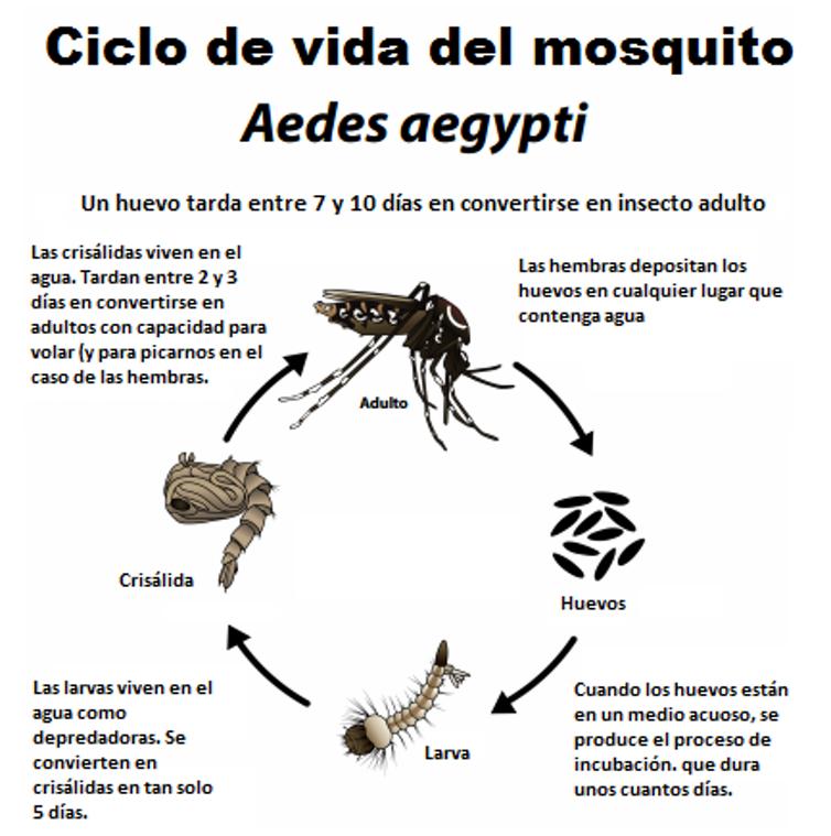 Ciclo de vida del mosquito.