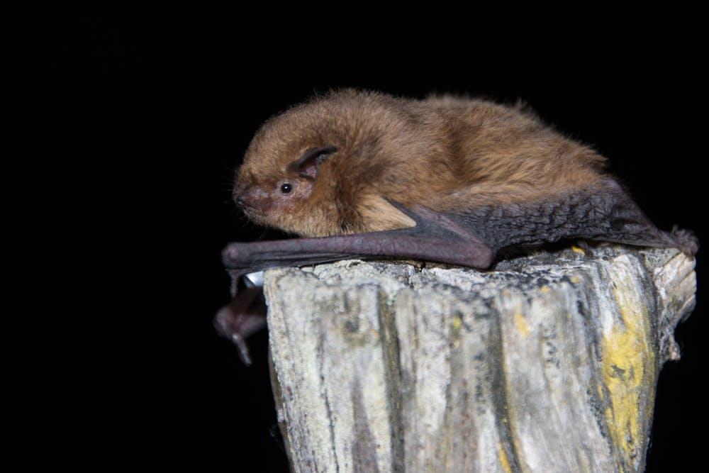 Una especie bastante común es el murciélago soprano (Pipistrellus pygmaeus). Elena Tena, Author provided