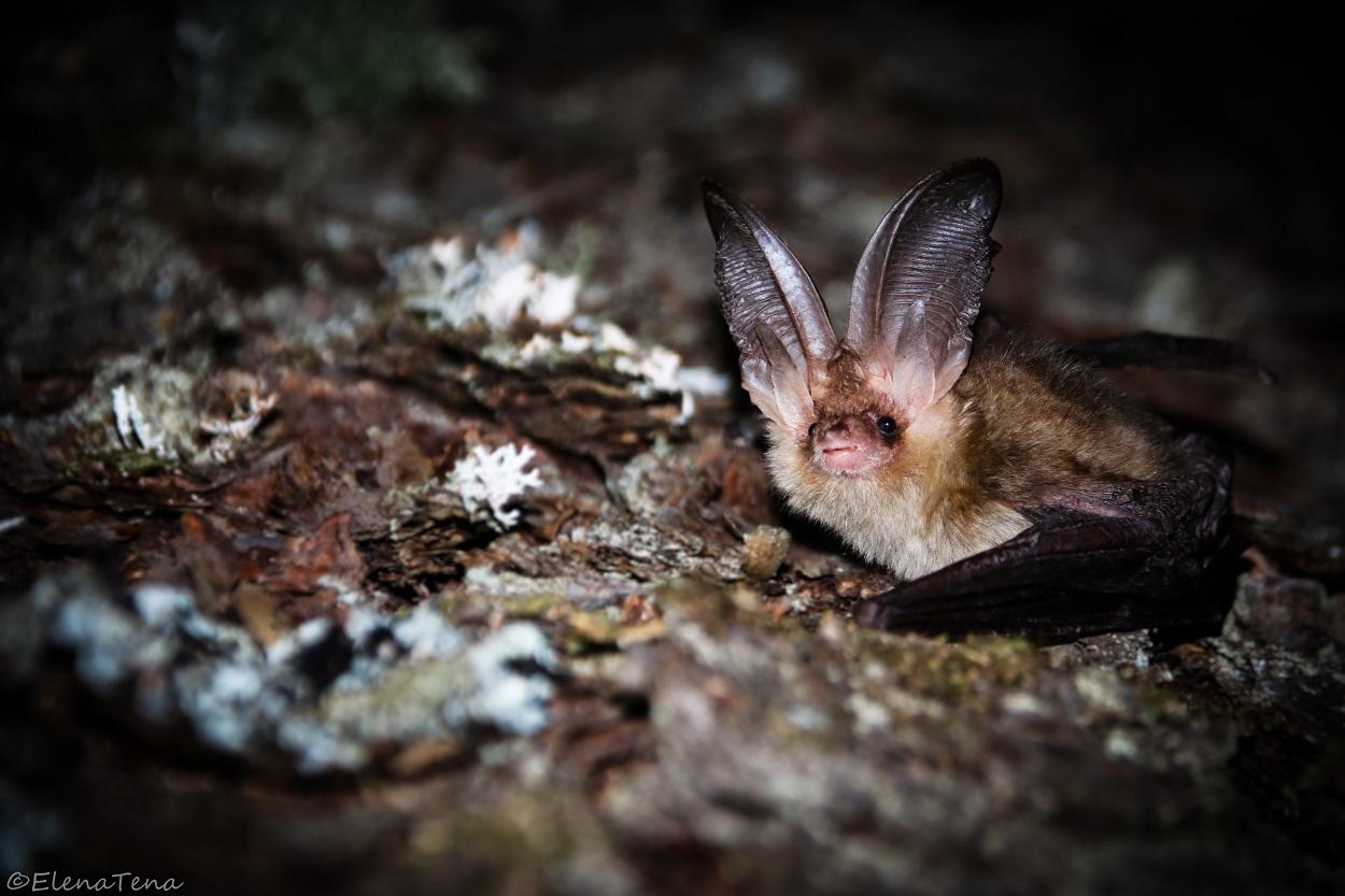 Ejemplar de orejudo dorado (Plecotus auritus), una especie de murciélago forestal. Elena Tena, Author provided