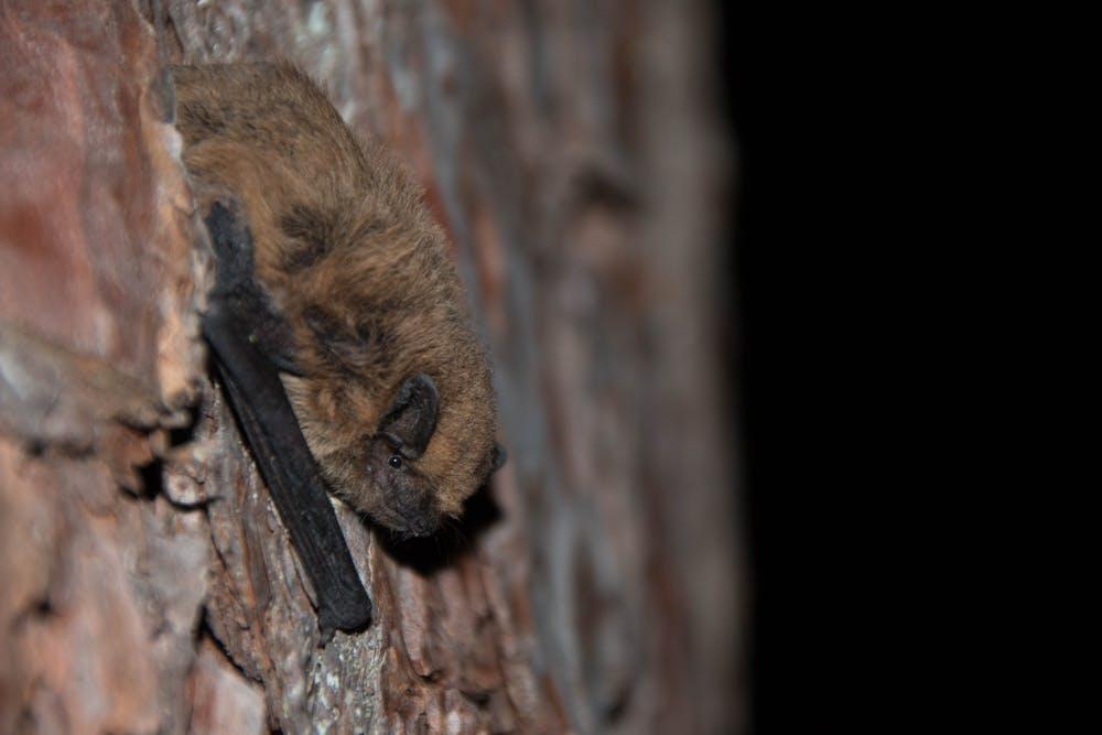 Foto del murciélago común (Pipistrellus pipistrellus). Elena Tena, Author provided