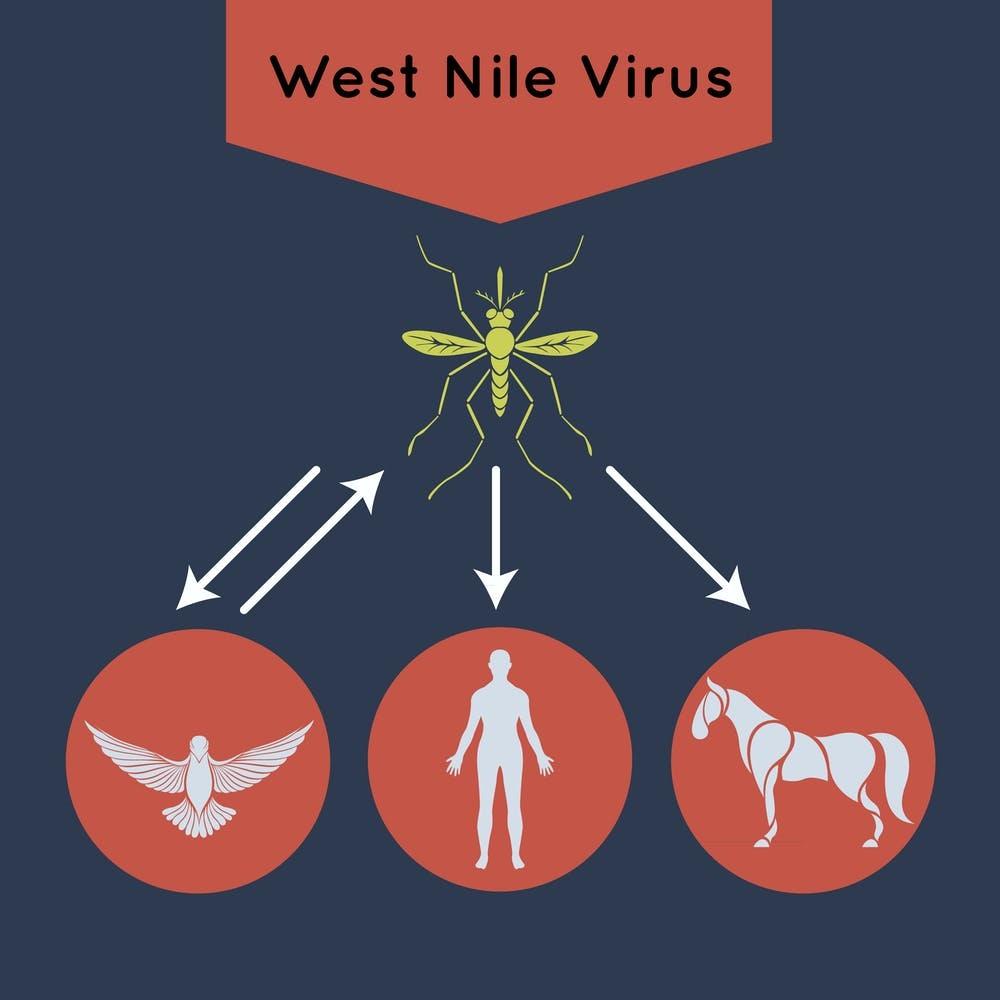 Aves, personas y caballos son los principales hospedadores del Virus del Nilo Occidental. Shutterstock / iLoveCoffeeDesign