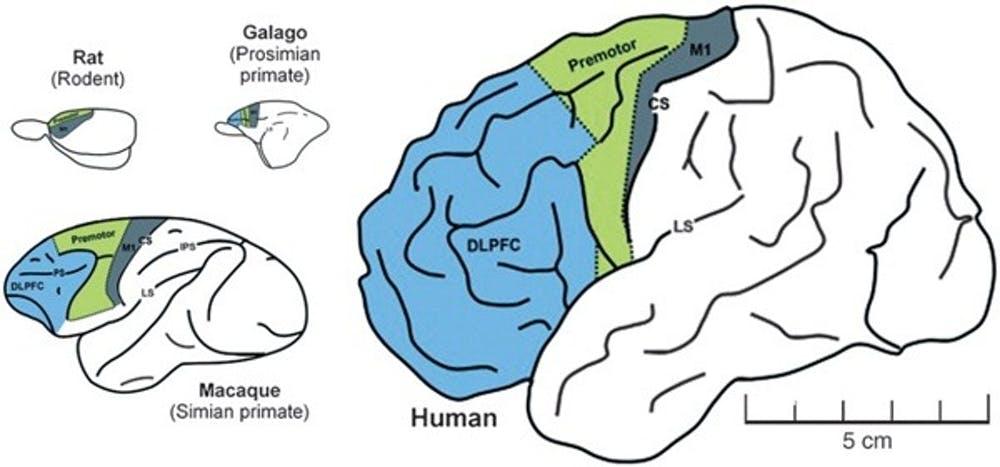Comparación del cerebro de rata, galago, macaco y humano. En azul, la corteza prefrontal. Gráfico procedente de PNAS - George A. Mashoura and Michael T. Alkire, 2013