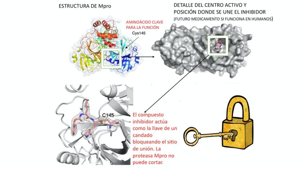 Esquema de funcionamiento de la proteasa Mpro y mecanismo del inhibidor GC376. Traducido y adaptado de Vuong et al. por Nuria Campillo y Mercedes Jiménez.