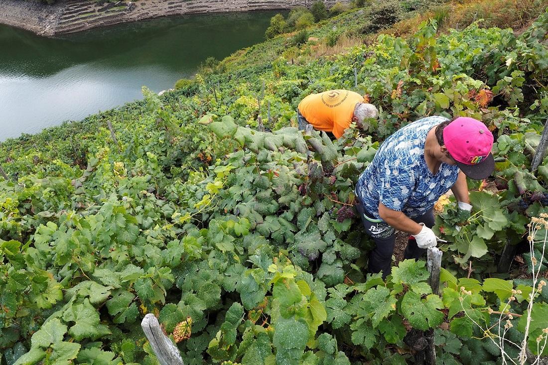 Trabajos de vendimia en una zona de Chantada en la Ribeira Sacra (Galicia). EFE/Eliseo Trigo