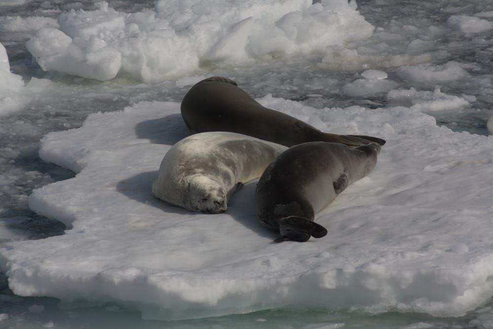Focas cangrejeras descansando en un témpano de hielo. Andrés Barbosa, Author provided