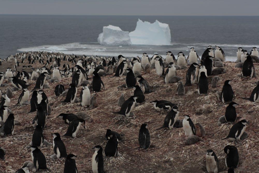Colonia de pingüino barbijo. Andrés Barbosa, Author provided