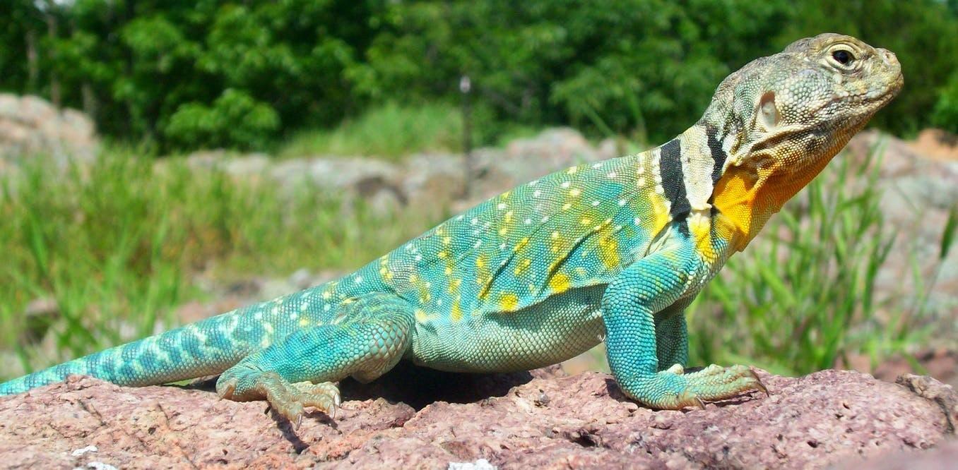 El lagarto de collar ('Crotaphytus collaris'), muy común en el sur de Estados Unidos y el norte de México. Dakota L. / Wikimedia Commons