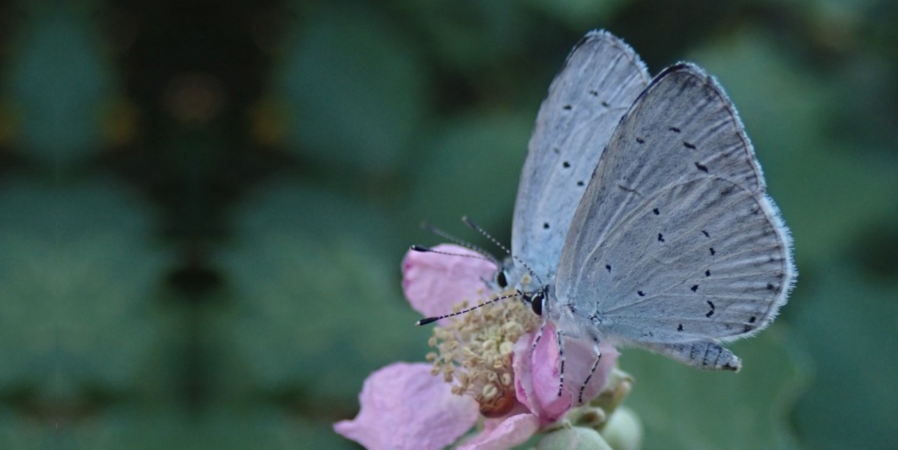 Náyade ('Celastrina argiolus'). Pau Colom, Author provided