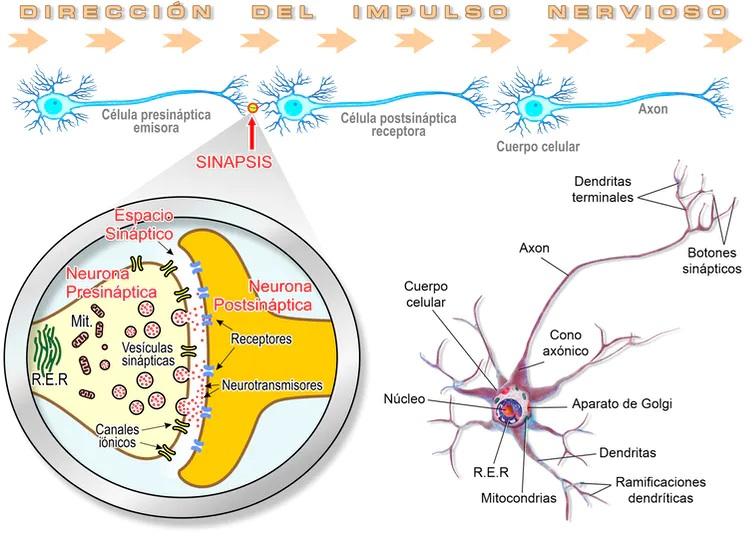 Esquema del funcionamiento de la transmisión neuronal en el sistema nervioso de vertebrados