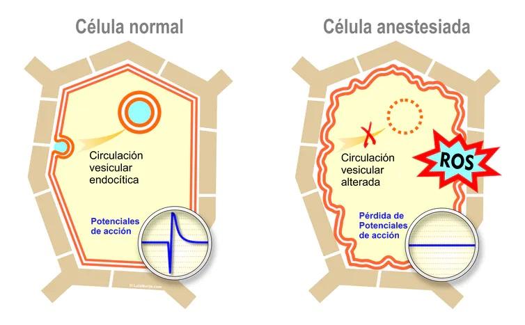 Modelo de una célula vegetal anestesiada. Los anestésicos bloquean los potenciales de acción de las plantas. El tráfico de membranas se altera y se genera rápidamente un exceso de especies reactivas de oxígeno (ROS). Estas rápidas respuestas celulares conducen a la pérdida de respuesta a los estímulos externos. La línea doble representa la membrana plasmática de la célula, alterada en células bajo anestesia