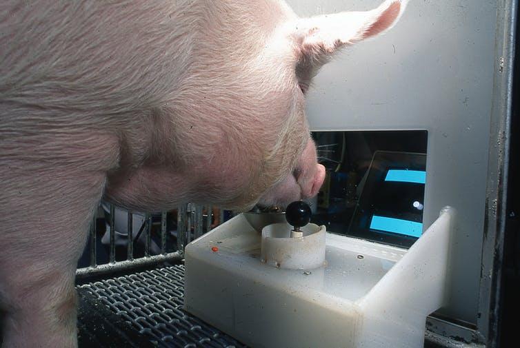 Un cerdo listo. Candice Croney, Author provided (No reuse)