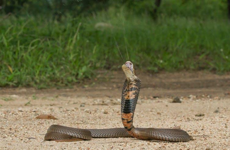 Cobra escupidora de Mozambique (Naja mossambica) escupiendo.