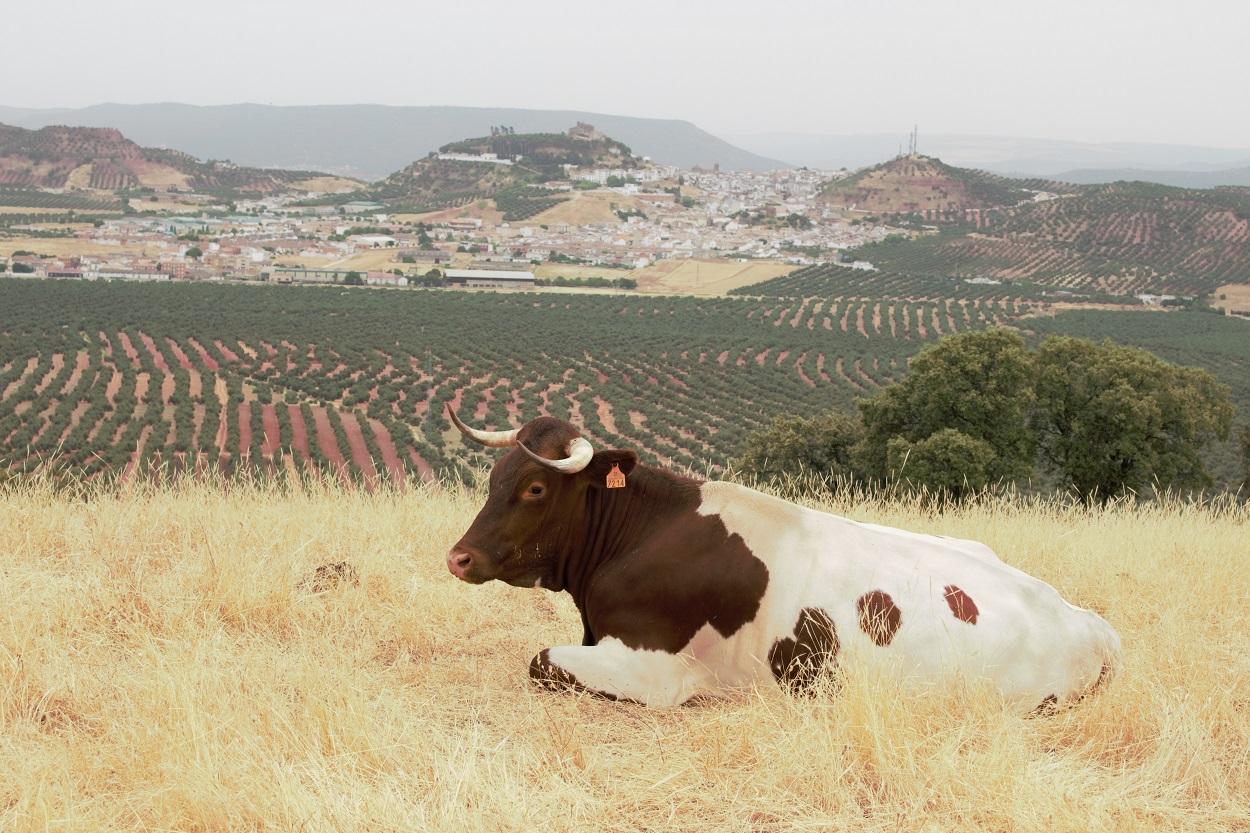 Vaca de la raza Berrenda en colorado descansando. De fondo, un paisaje agrario transformado en cultivos intensivos de olivar en la Carolina (Jaén). Author provided