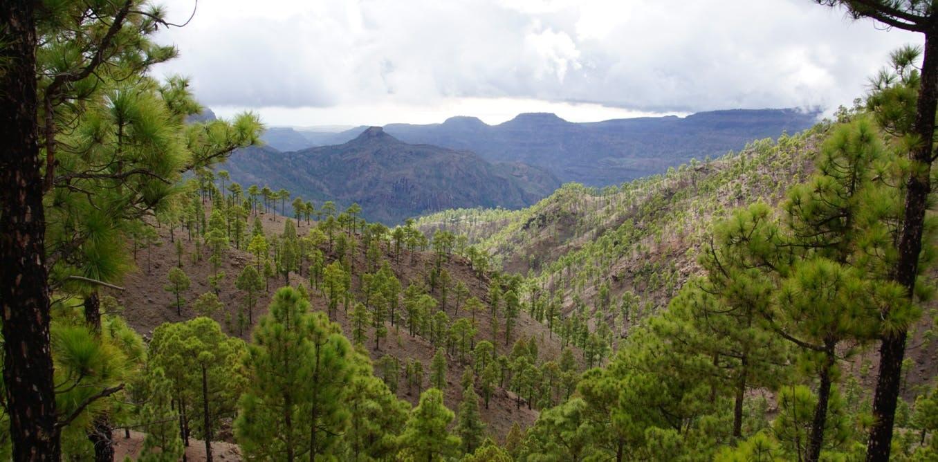 Pinar en Gran Canaria