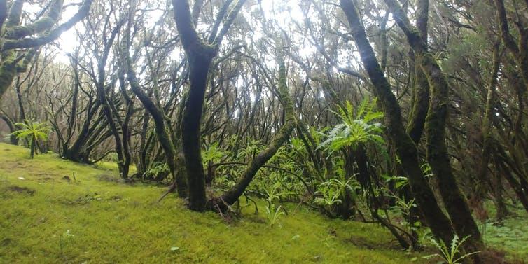 Bosque de laurisilva en el Parque Nacional de Garajonay (La Gomera)