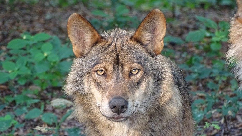 Canis lupus signatus.