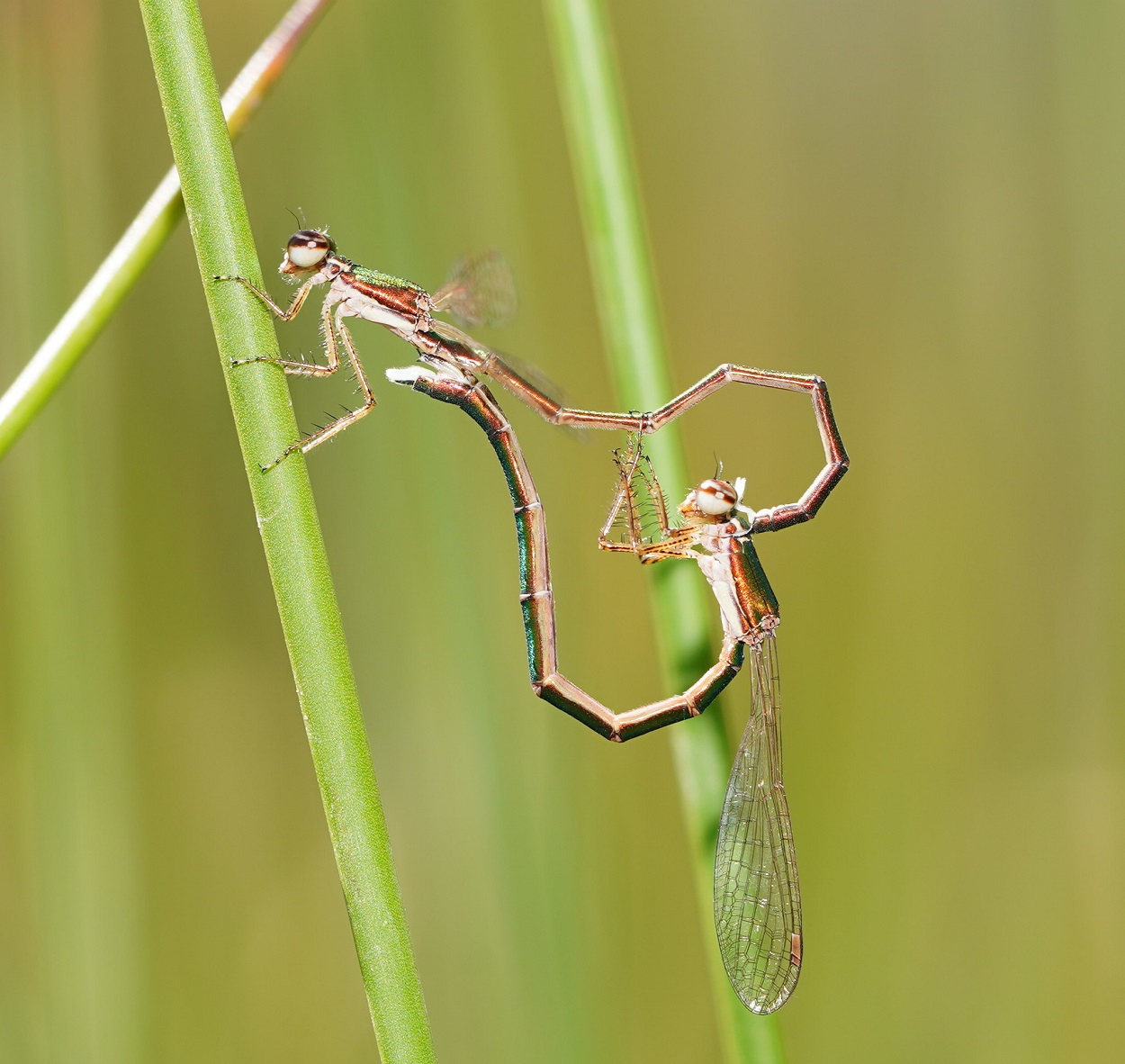 Libélulas Hemiphlebia mirabilis. Reiner Richter, CC BY-NC-SA