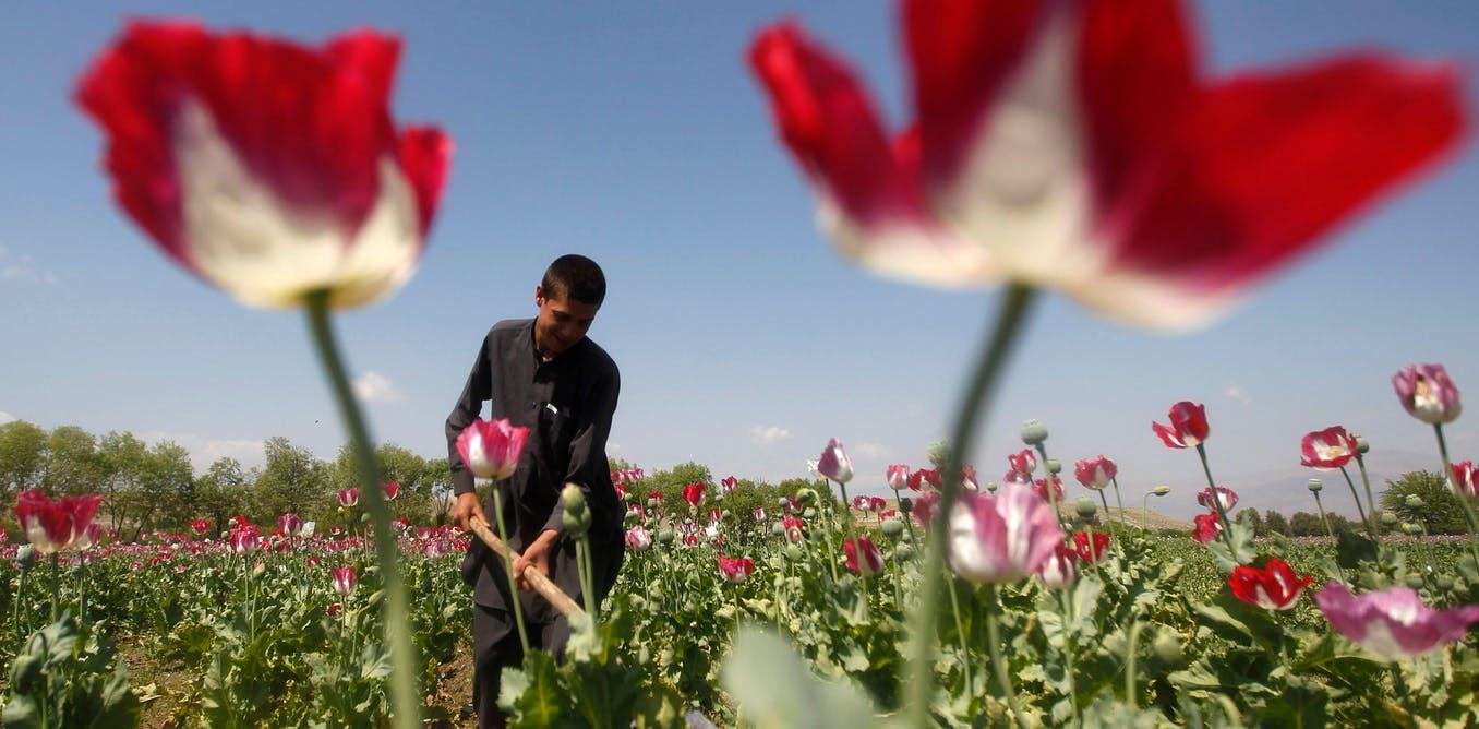 Incluso antes de la irrupción de los talibanes, el cultivo de opio estaba aumentando. Reuters/Alamy