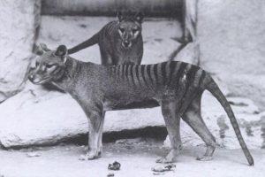 pareja de tilacinos o lobos marsupiales