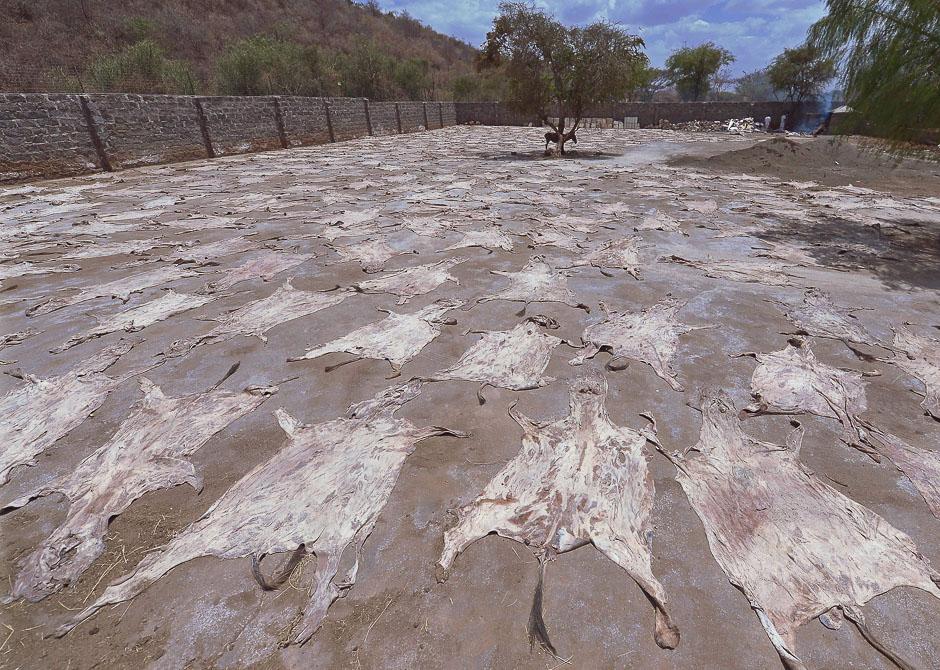Cientos de pieles de burro secándose al sol en Baringo, Kenia.