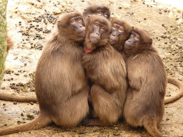 baboons-4371_960_720