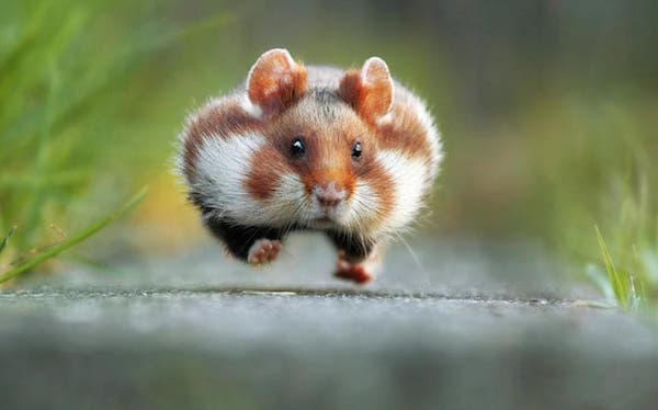 comedy-hamster_3497562a-large